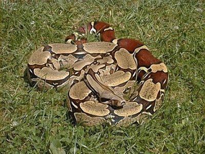 Удав обыкновенный (Boa constrictor)