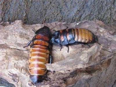 Мадагаскарский таракан (Gromphadorrhina portentosa)
