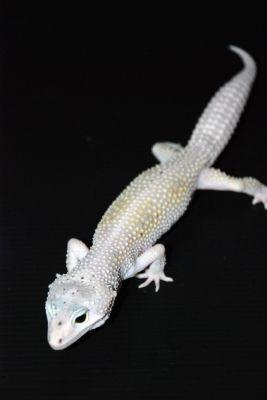 Леопардовый геккон морфы Hypomelanistic Snow Enigma