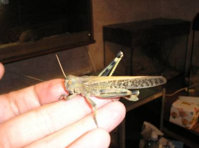 Cаранча (Locusta migratoria, Schistocerca gregaria)