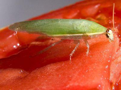 Зелёный таракан (Panchlora nivea)