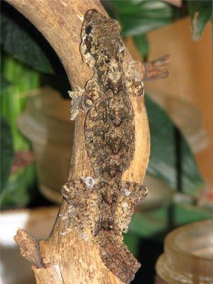 Индо-Малайский лопастнохвостый геккон (Ptychozoon kuhli)