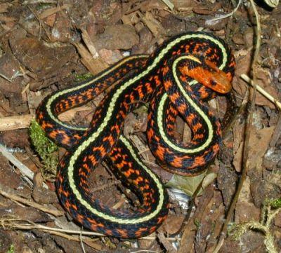 Змея подвязочная обыкновенная (Thamnophis sirtalis)