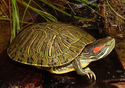 Красноухая черепаха самая мелкая