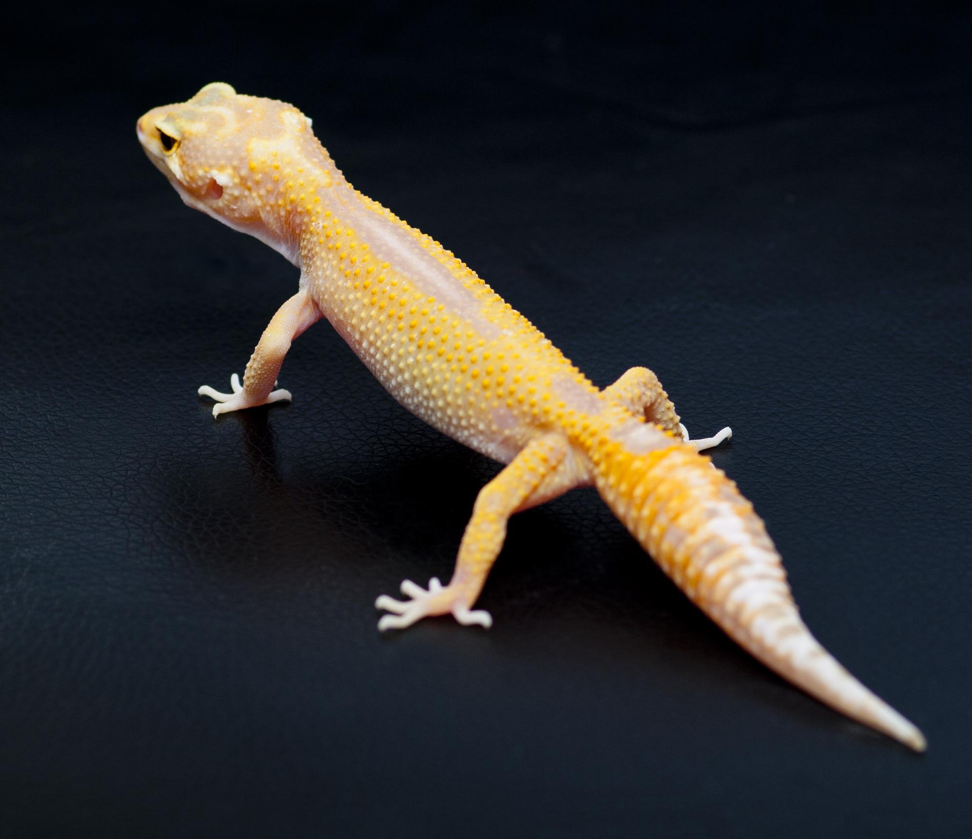 Пятнистый эублефар морфы Tremper Albino Stripe