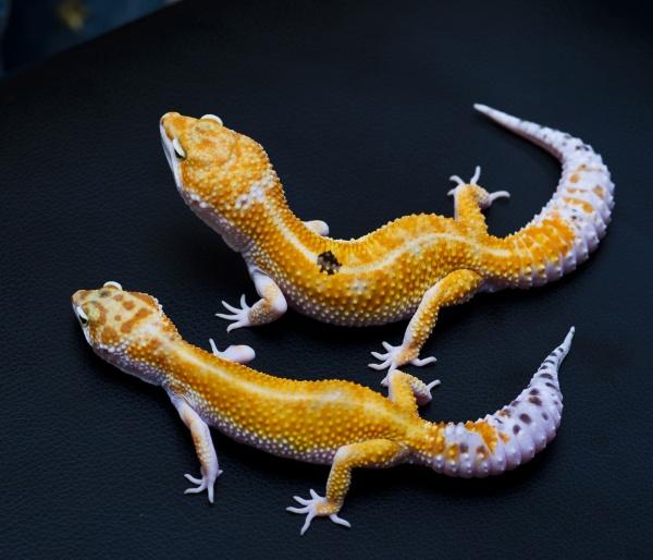 Две особи морфы White and Yellow