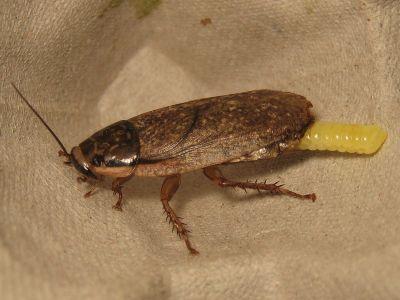 Мраморные тараканы (Nauphoeta cinerea)