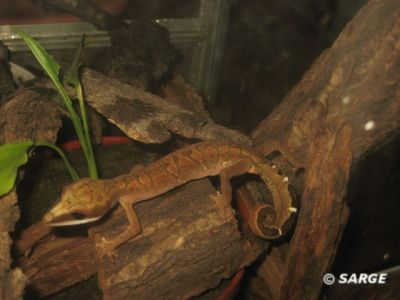Кошачий геккон (Aeluroscalabotes felinus)