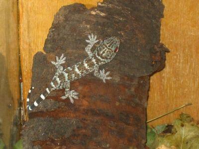 Семейство гекконы или цепкопалые (Gekkonidae)