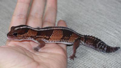 Африканский толстохвостый геккон (Hemitheconyx caudicinctus)