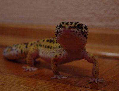 О содержании леопардовых гекконов