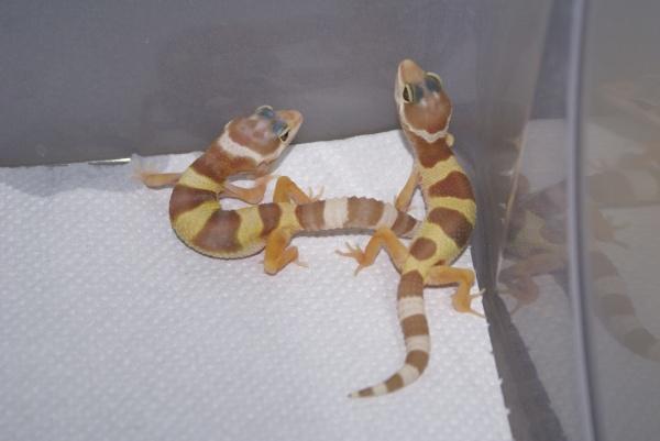 Ювенильный окрас гекконов морфы Tremper Albino