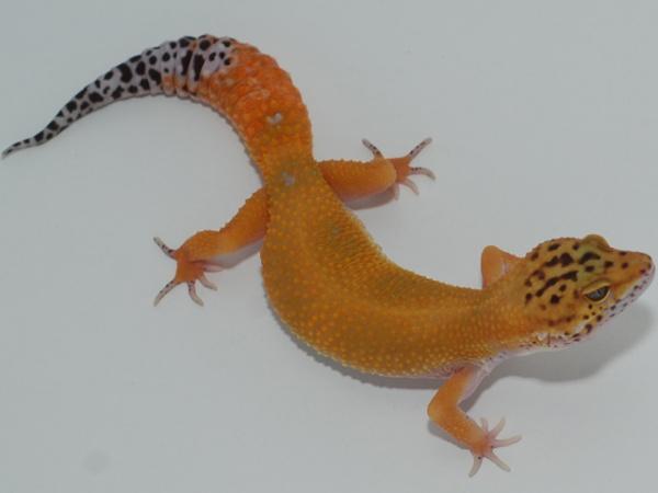 Tangerine Carrot Tail